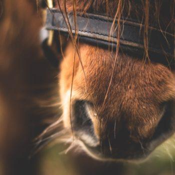 Litière pour chevaux